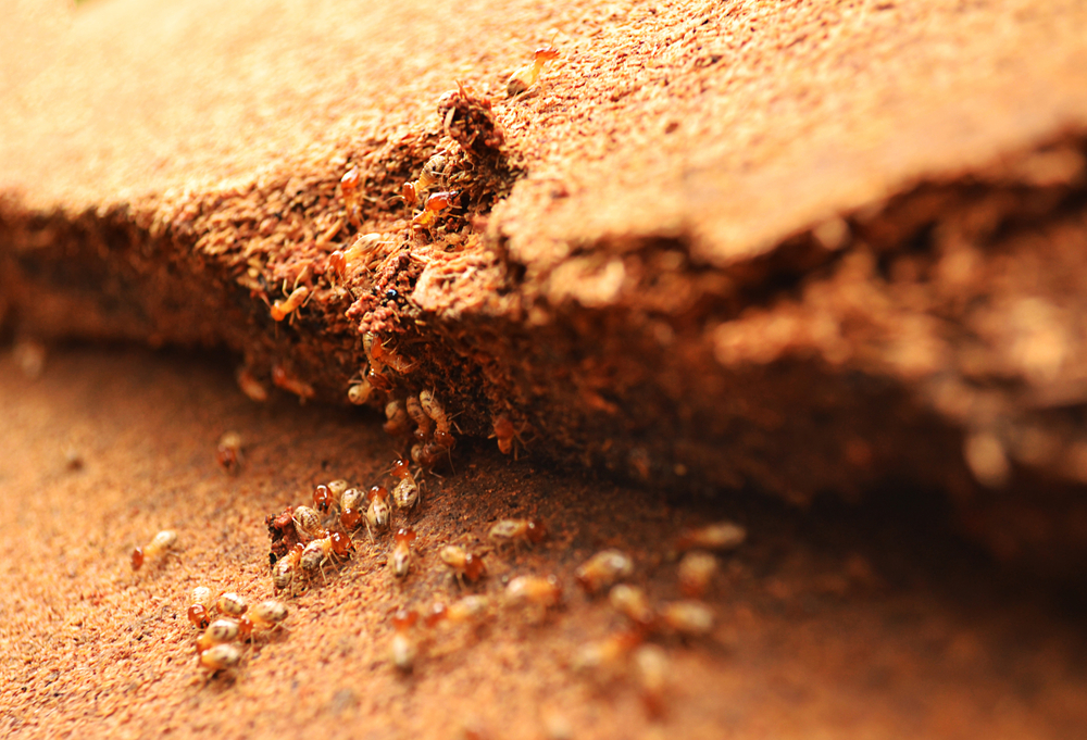 Termites Stock Photo - Image: 45329789 |Termites Eating House